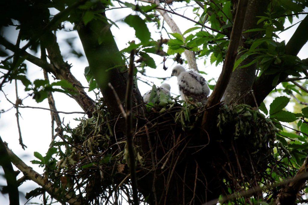 Foto 4 - Piccoli di astore di pochi giorni al nido